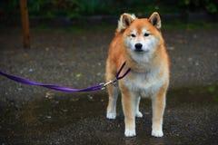 Akita Dog eller Akita Inu (Hachi) Fotografering för Bildbyråer