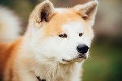 Akita Dog eller Akita Inu, japan Akita Outdoor Arkivbild