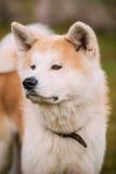 Akita Dog eller Akita Inu, japan Akita Outdoor Royaltyfria Bilder
