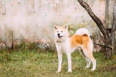 Akita Dog eller Akita Inu, japan Akita Outdoor Arkivfoto