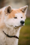 Akita Dog eller Akita Inu, japan Akita Outdoor close upp Arkivfoton