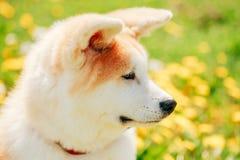 Akita Dog eller Akita Inu, japan Akita Puppy Arkivfoto