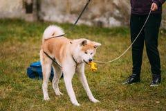 Akita Dog eller Akita Inu, japanAkita lek med Arkivfoton