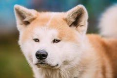 Akita Dog eller Akita Inu, japan Akita Outdoor close upp Royaltyfri Fotografi