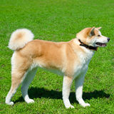 Akita dog stock photo