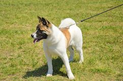 Akita dog Stock Photos