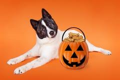 Akita Dog Halloween trick-or-Treat Royalty Free Stock Photos