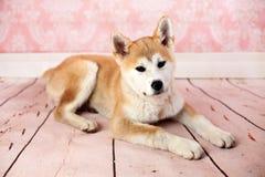 Akita Dog At Home On mignonne le plancher Photographie stock libre de droits