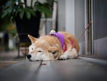Free Akita Dog In Kobe Stock Photos - 97235153