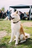 Akita Dog Or Akita Inu japan Akita Sitting On Green Grass le för hund Arkivfoto