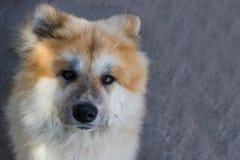 Akita Dog Royalty Free Stock Images