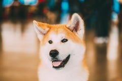 Akita Dog Akita Inu japanskt Akita slut upp ståenden royaltyfria bilder