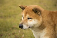 Akita dog. The Akita dog a Japanese dog, its ancestor, is called a mountain hunting dog. ` The large dog in the Japanese dog did not exist, and the Akita dog was stock images