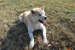 Akita dog on autumn sun royalty free stock images