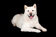 Akita Dog Lying Over Black Background Stock Photography
