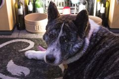 Akita dog lying on a rug royalty free stock photography
