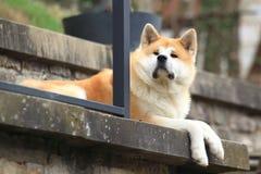 Akita dog. Lying on the step stock image
