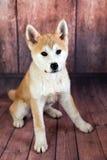 Akita Dog mignonne Photos stock