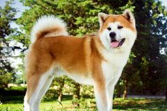 Akita dog in park. Beautiful akita dog is standing in nature in park outdoors royalty free stock photography