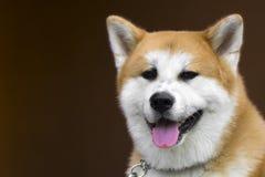 Akita dog portrait. Portrait about an akita dog on brown background stock photos