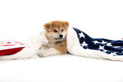 Akita dog puppy under a blanket Stock Image