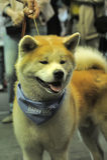 Akita at the Dog Show Royalty Free Stock Photos