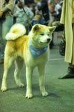 Akita at the Dog Show Royalty Free Stock Photography
