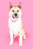 Akita Dog Sitting Over Pink Background Stock Image