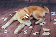 Akita Dog Sleeping On Wooden golv Royaltyfri Bild