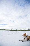Akita dog on snow looking at hiking people Royalty Free Stock Image