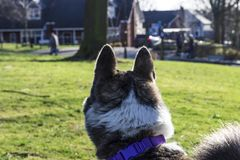 Akita dog spotted another dog Royalty Free Stock Photo