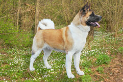 Akita dog. Stand in a forest Royalty Free Stock Images