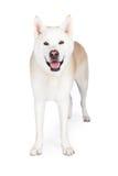 Akita Dog Standing Against White-Achtergrond Royalty-vrije Stock Fotografie