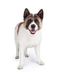 Akita Dog Standing Isolated Over vitbakgrund Arkivbilder
