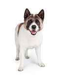 Akita Dog Standing Isolated Over White Background Stock Images