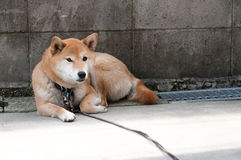 Akita dog waiting at the wall Stock Photos