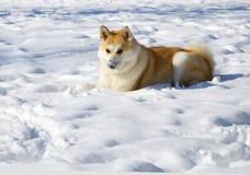 Akita dog winter Stock Photos