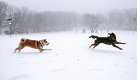 Akita dog winter Stock Photo