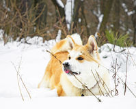 Akita dog winter Stock Photography