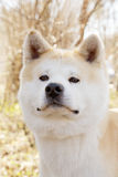 Akita dog Royalty Free Stock Photos