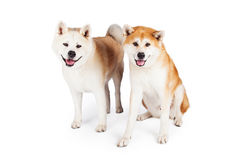 Akita Dogs Over White Background Royalty Free Stock Image