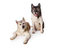 Akita Dogs Resting Over Black Background Stock Image
