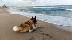 Akita on the Empty beach of the Black sea and soon the storm stock photo