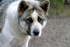 Akita Face royalty free stock image