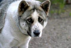 Akita Face. Close up of face of a purebred Akita dog Royalty Free Stock Image