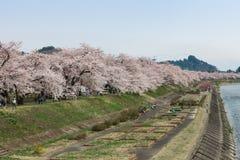 Akita, Giappone - aprile 27,2014: Riva del fiume di Sakurain Kikonai Fotografia Stock Libera da Diritti