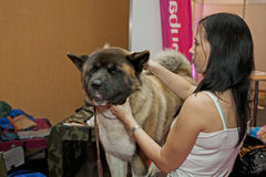 Akita Royalty Free Stock Photo