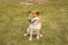 Akita hund Arkivbild