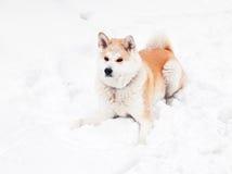 akita hund Royaltyfri Bild