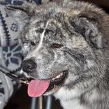 Akita hund arkivfoton